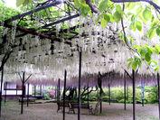 樹齢160年の大藤