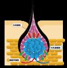毛乳頭細胞活性化機構