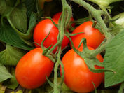 新品種トマト「すずこま」