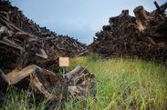 タコマツと処理が進まず積み上げられた被災木