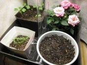 鉢植え栽培