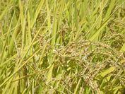 「合鴨玄米」プレゼント
