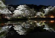 夜桜の水鏡