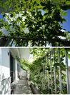 パッションフルーツによる緑のカーテン 2