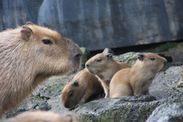 カピバラの赤ちゃん誕生1
