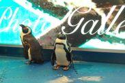 いろんなものに興味津々のペンギンたち