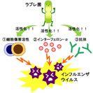 図1 ラブレ菌と免疫について