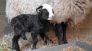 ロマノフスキー種が赤ちゃんを出産