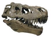 タルボサウルス頭骨(複製)