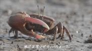 甲殻の騎士シオマネキ
