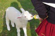 ミルクを飲む子ヤギ