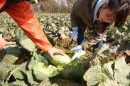 キャベツの種まきと収穫