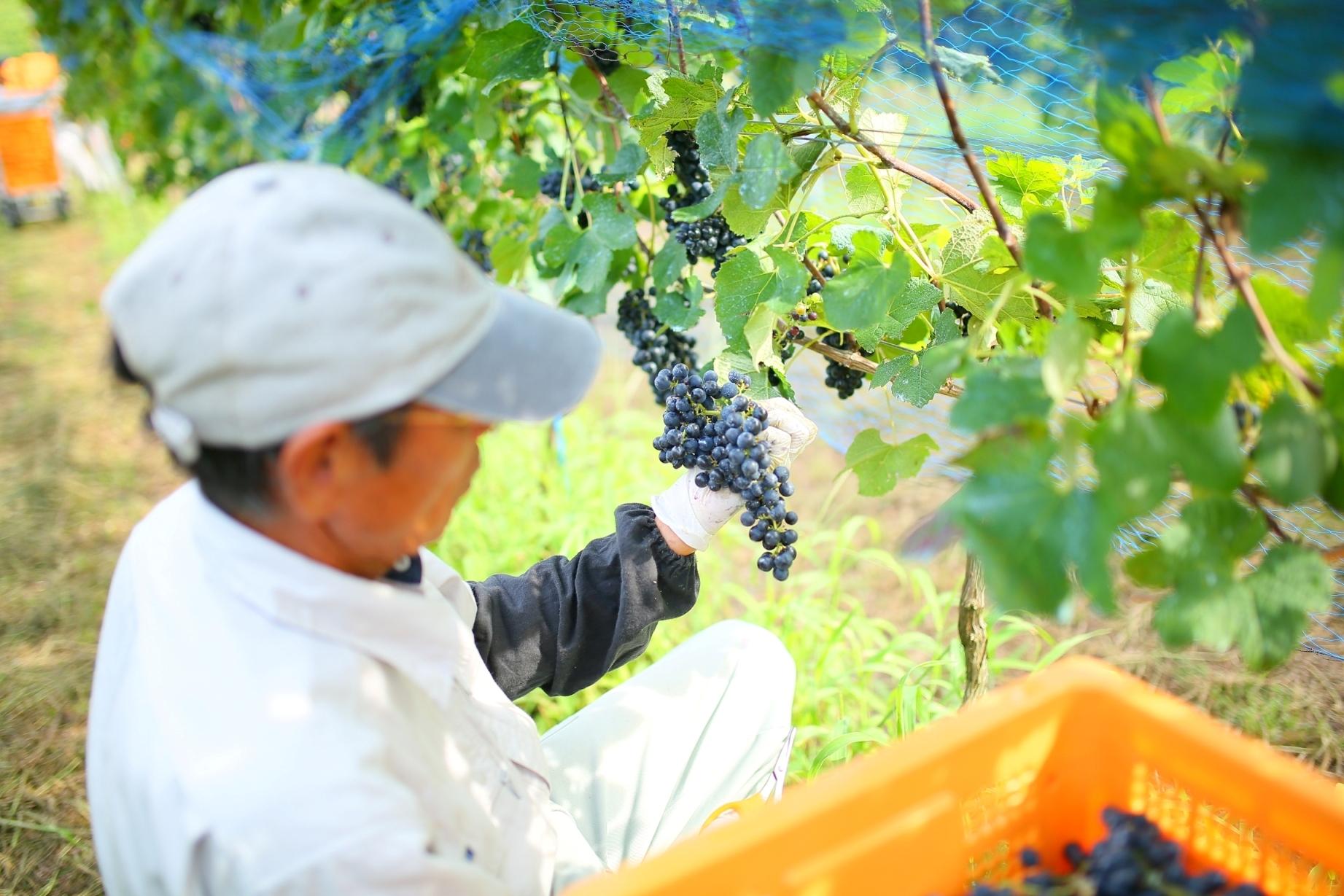 ワイン好きによるワイン好きのためのイベント「Go!Go!Winery2019」!中伊豆ワイナリーでワインを満喫しよう - img 182230 5