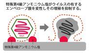 抗ウイルスのメカニズム(2)