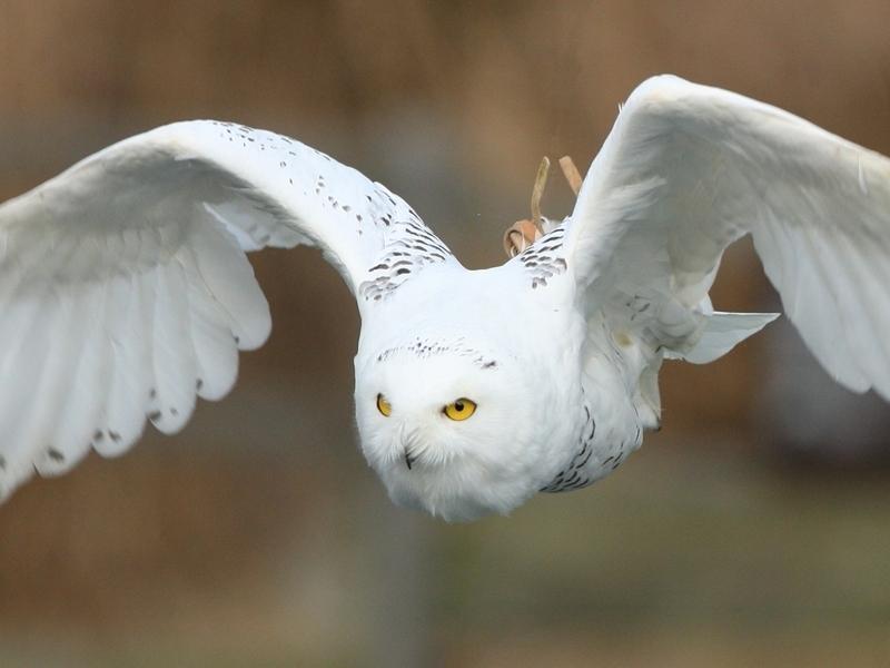 飛行するシロフクロウ