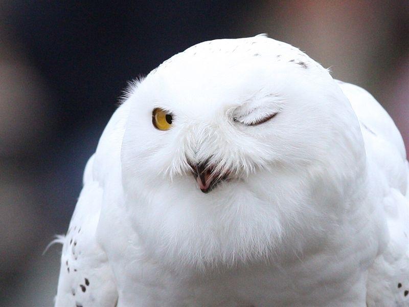 知恵の象徴『フクロウ』のかっこいい高画質な画像まとめ!