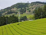 掛川の茶園