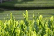 静岡茶の新芽