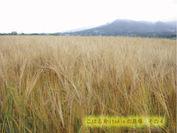 小春二条大麦の畑