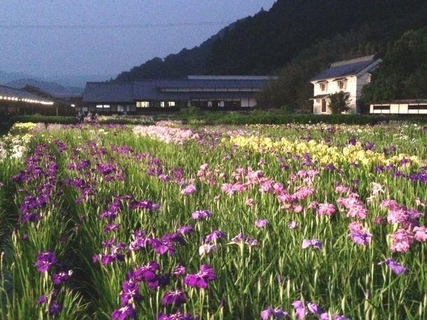 トワイライト花菖蒲(植物・花専用LEDライトアップ)1