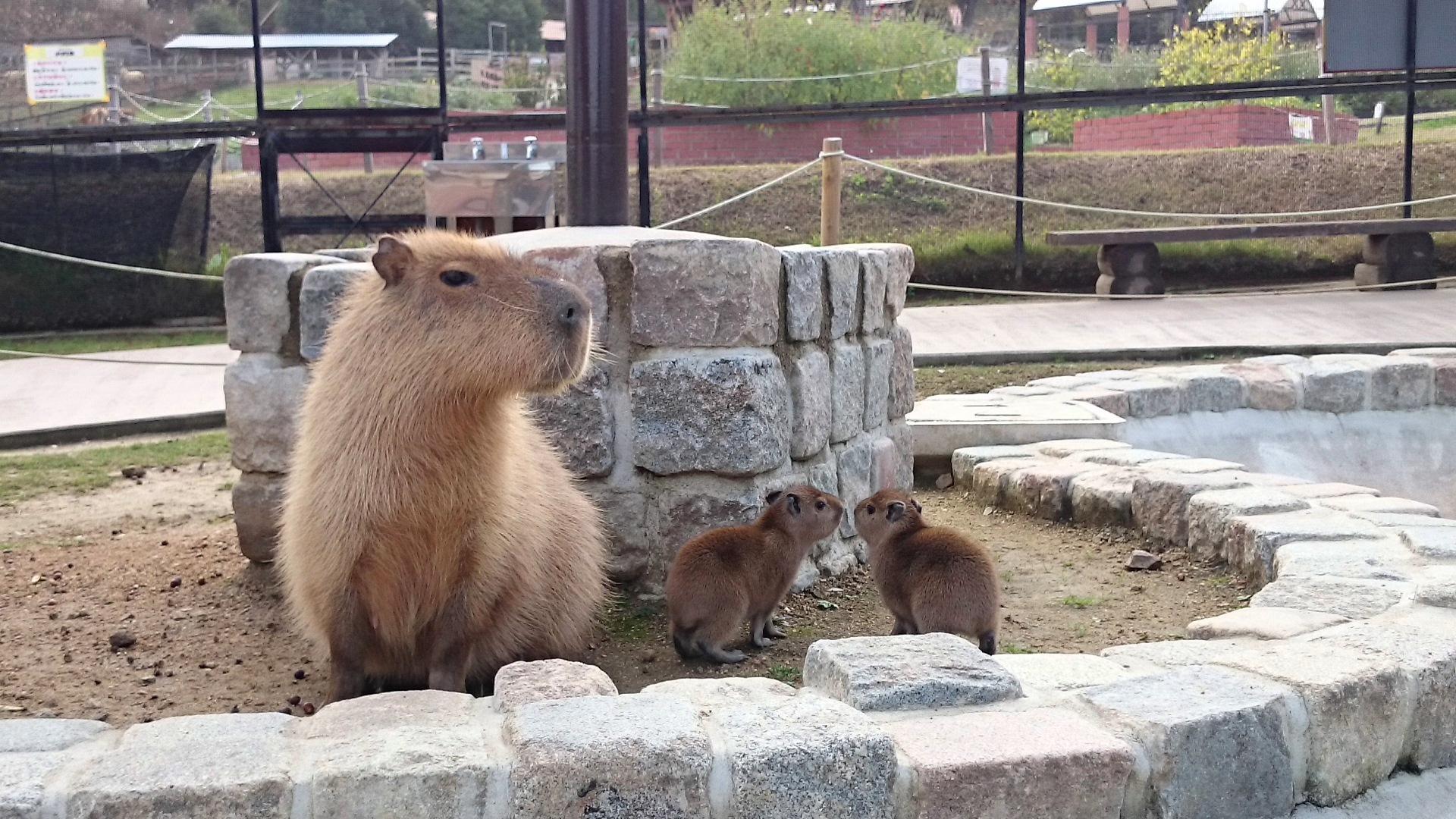 カピバラが2匹の赤ちゃんを出産 カピバラ親子の仲睦まじい姿を11月